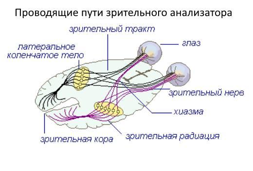 волокон зрительного нерва