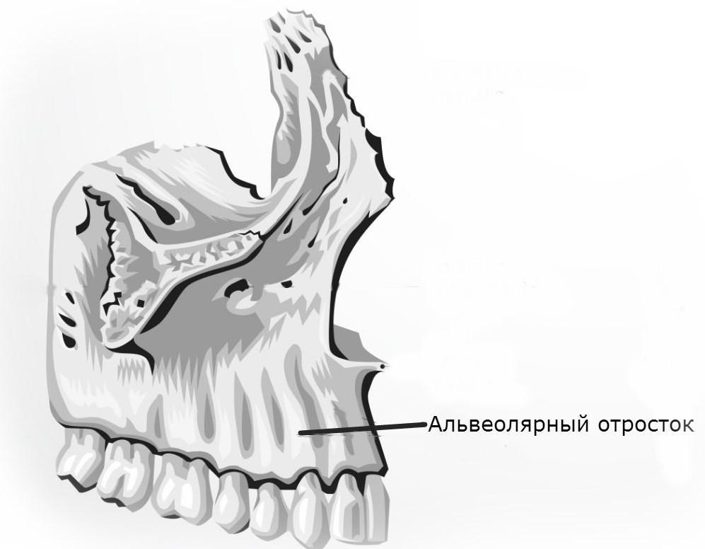 Строение альвеолярного отростка