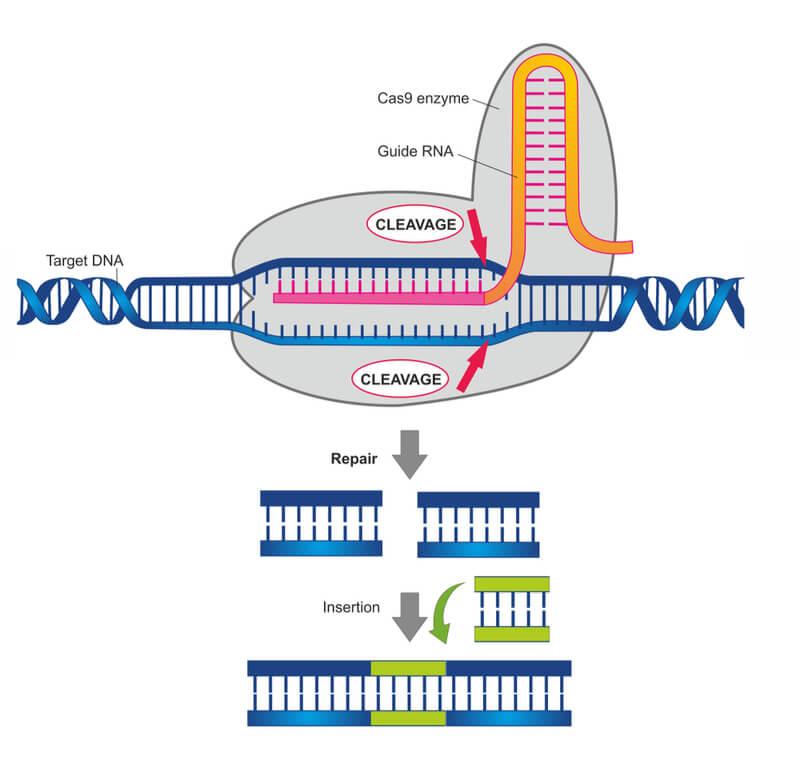 Технология CRISPR/Cas9