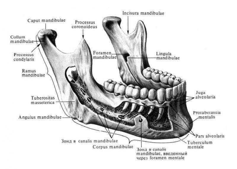 Альвеолярный гребень - альвеолярный отросток