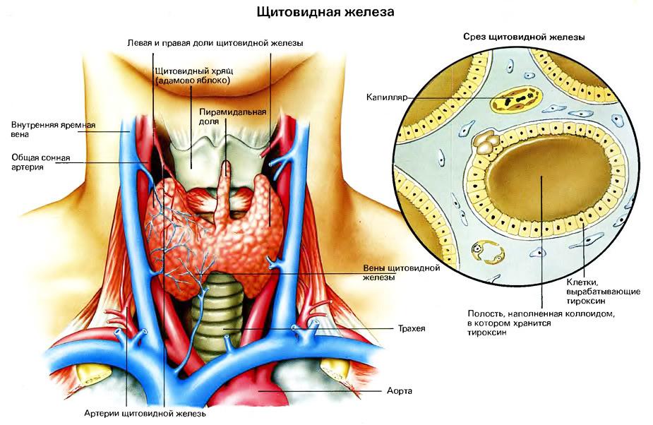 Щитовидная железа, причины и симптомы гипертиреоза